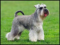 miniature schnauzer with long tail