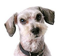 crossbreed dog the schnoodle