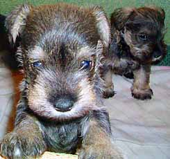 Max the Schnauzer puppy aged 5 weeks