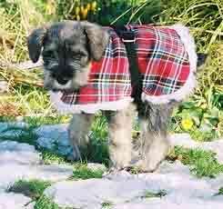 Max the  Schnauzer puppy aged 8 weeks