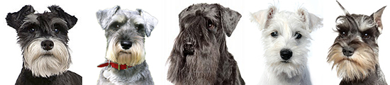 row of mini schnauzer faces