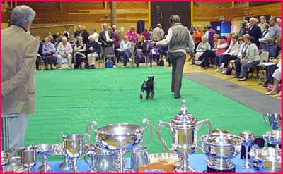 Miniature Schnauzer Club Championship Show arena