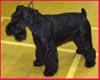 Miniature Schnauzer Club Championship Show black miniature schnauzer