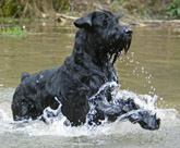 Philip the Giant Schnauzer swimming