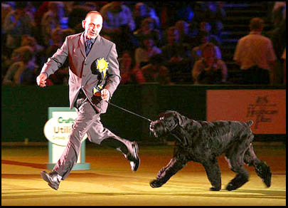 Giant Schnauzer Champion Philippe in ring