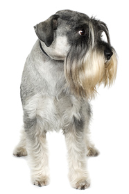 standard schnauzer breeders salt and pepper