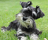 Cute mini schnauzer from Canada