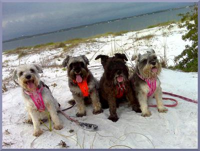 4 mini schnauzers make a pack and love beach