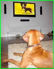 dog watching Giant Schnauzer champion at CruiftsCrufts