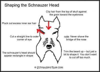 Schnauzer head