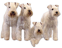 four white miniature schnauzers