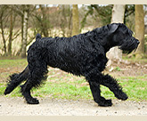 Champion giant schnauzer Philip exercising