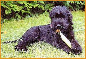 giant schnauzer breeders black puppy