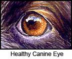 healthy dog eye with no cataracts