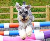 Max the Schnauzer agility exercises