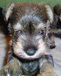 Max the Schnauzer puppy image