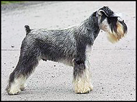 Miniature Schnauzer after tail docking
