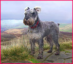 miniature Schnauzer Max with ears blowing in the wind