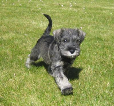 Ralph the Schnauzer's first day at home