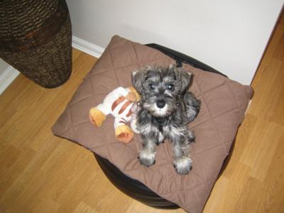 Ralph the Schnauzer at 3 months old