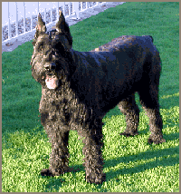 USA giant schnauzer rescue dog