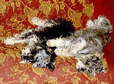 Robert Coane's 2 Miniature Schnauzers Rodin and Frida