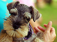 cute salt and pepper miniature Schnauzer puppy and human
