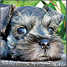 salt and pepper miniature schnauzer puppy image