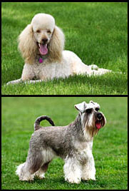 schnoodles parents - schnauzer poodle cross