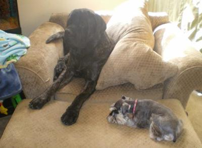 shyanne (mini schnauzer) with best friend damion (english mastiff)