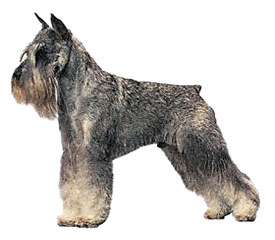 salt and pepper Standard Schnauzer