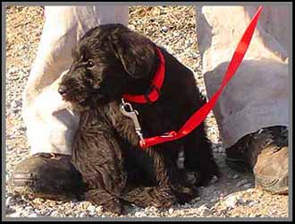 black standard schnauzer puppy on lead