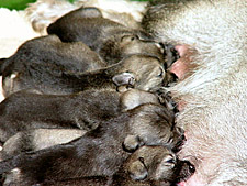 standard schnauzer puppies suckling their mother. standard Schnauzer litter sizes are usually 6 to 10 pups