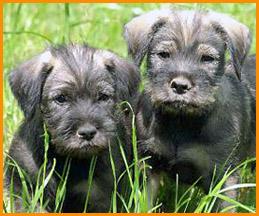2 Standard Schnauzer puppies