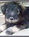 standard schnauzer puppy image