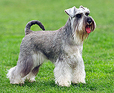 photo of Standard Schnauzer with tail