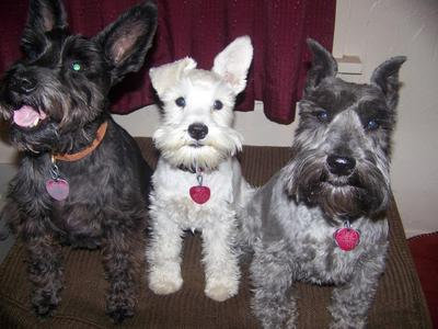 Toby, Teddy, and Thomas-schnauzer security