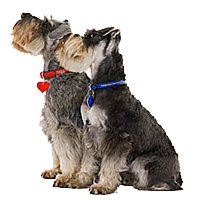 two identical mini schnauzers