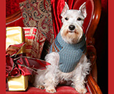 White mini schnauzer at Christmas