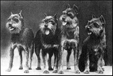 schnauzer history - wire haired pinschers