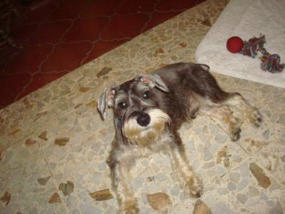 6-month-old miniature schnauzer in Dominican Republic