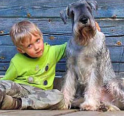 gray Giant Schnauzer with child