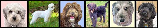 crossbreed dogs - different heads of Schnoodles