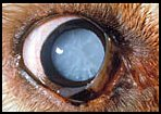 canine cataracts
