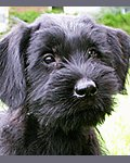 Black giant schnauzer puppy