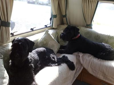 Two Giant Schnauzers  Enjoying a  Caravan Holiday!