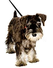 miniature schnauzer exercise is important