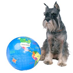 Salt and pepper Miniature Schnauzer with world globe