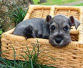 Schnauzer puppy going on a picnic