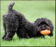 Schnoodle docked tail